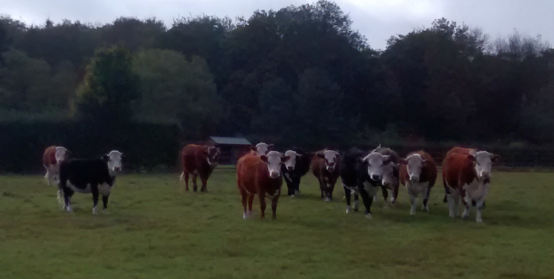 Face off with a field of cows - they thought i had food... i didn't!